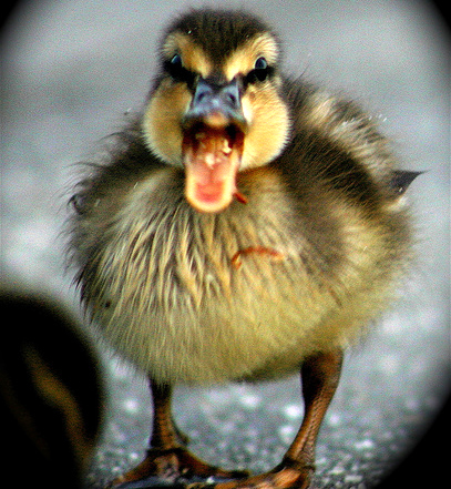 baby duckling picture caption