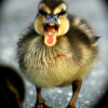 Shouting Baby Duckling Picture Caption